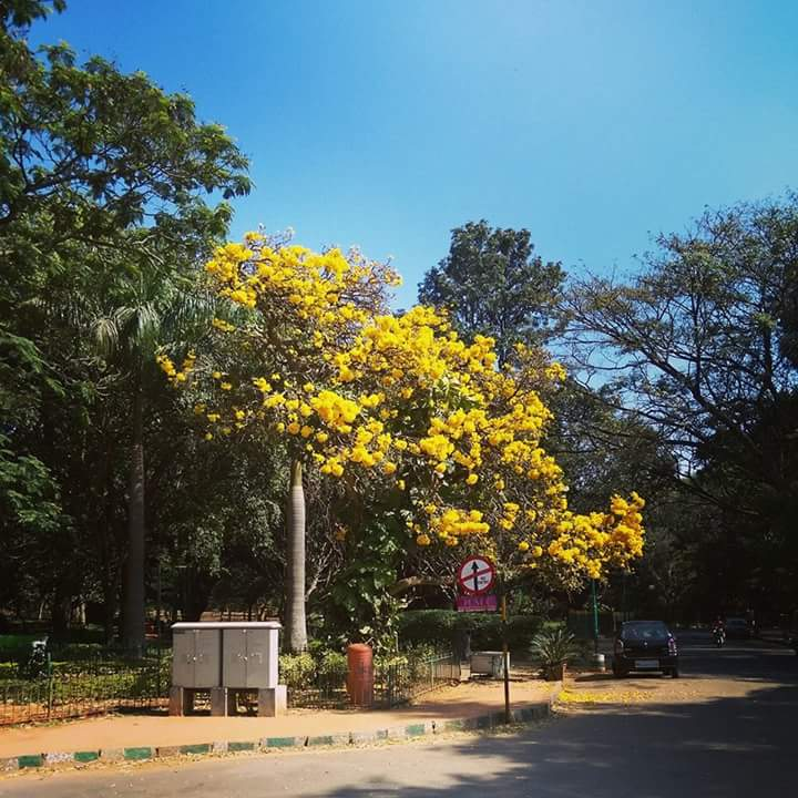 Tree-Yellow-Sirimiri