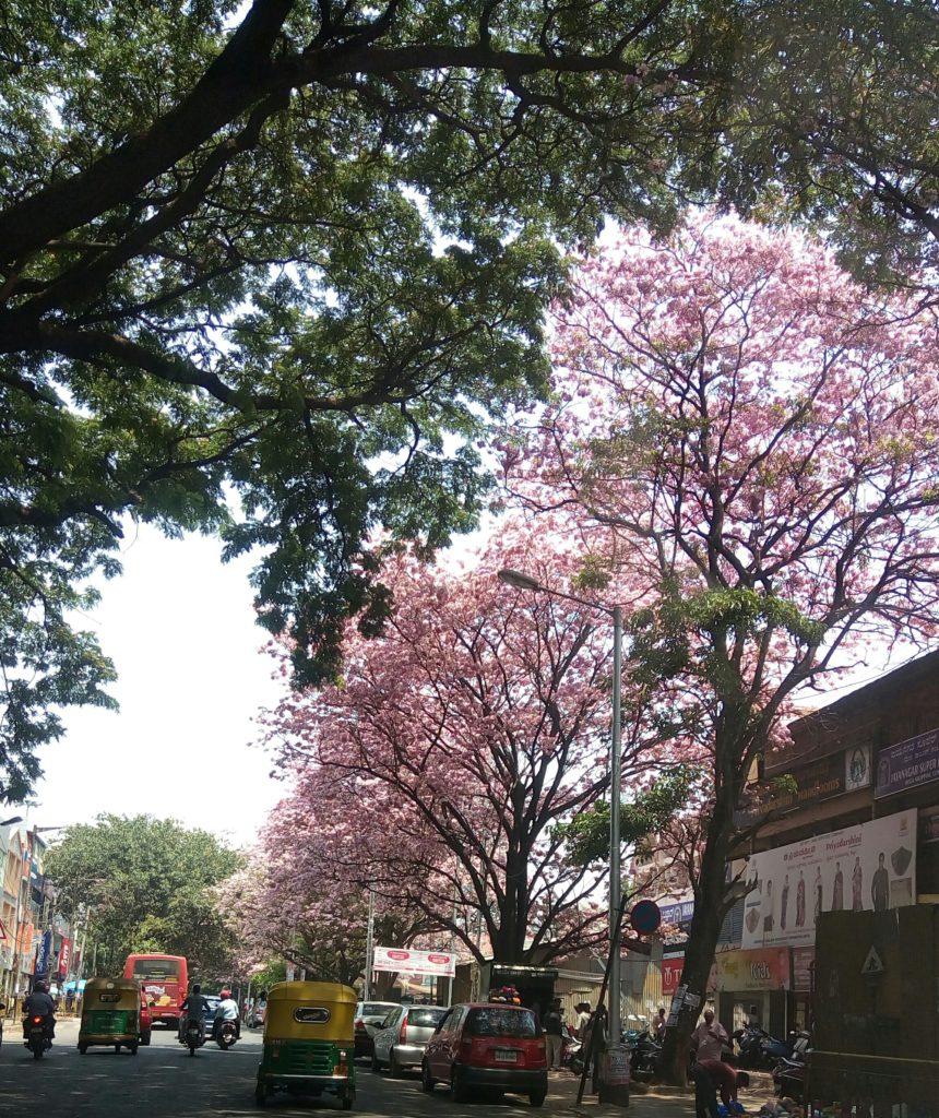 Pink-Trees-Bangalore-Sirimiri